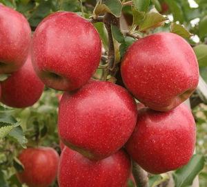Apple Nursery Fruit Trees For Sale Apple Fruit Plants For Sale Apple Fruit Trees Plants For Planting Wholesale Plant Seeds Bulbs Products On Tradees Com